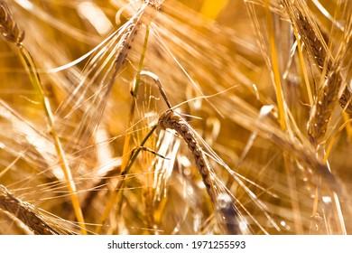 golden ears of grain in the field in summer time