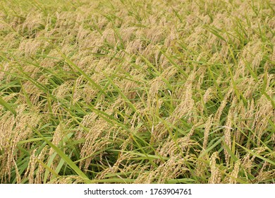 golden ears of rice plant