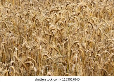 Golden ears of rye growing in the field.