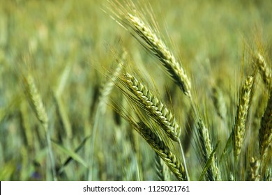 Golden ears of triticale