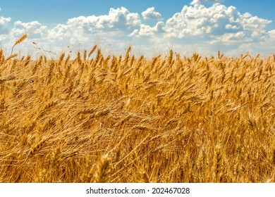Golden ears of wheat on the background of blue sky with white clouds