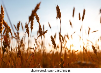 Golden ears of wheat on the field. Sunset light
