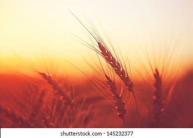 Golden ears of wheat on the field in sunlight. Macro image.