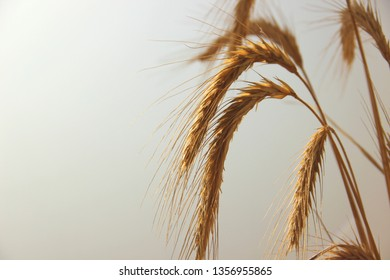 Golden ears of wheat on a matte background. Ears of ripe wheat in the fog at dawn, backlight