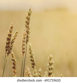 golden ears of wheat or rye, close up with drops of dew. majestic rural landscape under shining sunlight. Rich harvest Concept. small depth of field. Soft lighting effects.