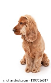 Golden English Cocker Spaniel sitting down and looking to the side isolated against a white background