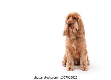 Golden English Cocker Spaniel sitting down isolated against a white background