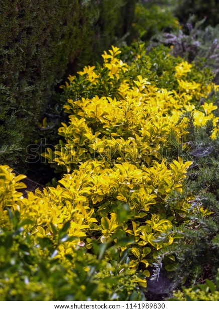 golden-euonymus-japonicus-shrub-known-60