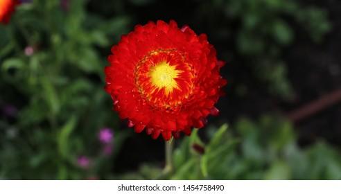Golden everlasting or Strawflower - Xerochrysum bracteatum