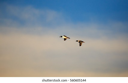 Golden eye ducks flying during the winter.