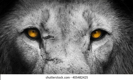 Lion Eyes Images Stock Photos Vectors Shutterstock Read 142 reviews from the world's largest community for readers. https www shutterstock com image photo golden eyes lion face 405482425