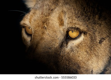 Golden eyes of a lioness