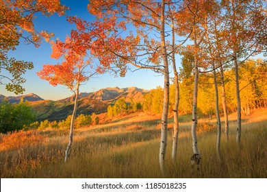 Golden fall aspens in the Wasatch Mountains, Utah, USA.
