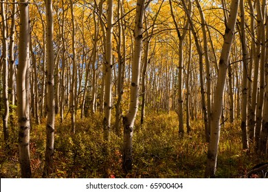 Golden fall colors in espen (Populus tremuloides) stand in boreal forest of Yukon Territory, Canada.