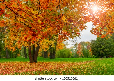 Golden fall colors in the park. Bright maple trees with red and yellow leaves