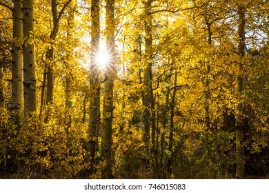 Golden fall foliage near June Lake, California. The setting sun shines throught the aspen trees.