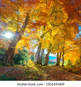Golden Fall season in forest - vibrant leaves on trees, real sunny weather and nobody, fall nature landscape,