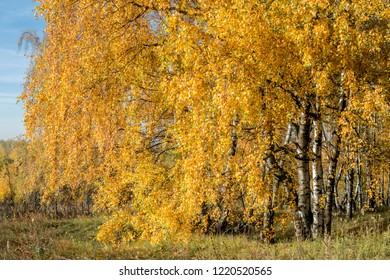 Golden fall. Silver Birch (Betula pendula) in deciduous forest, Central Russia