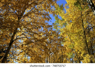 Golden Fall Trees