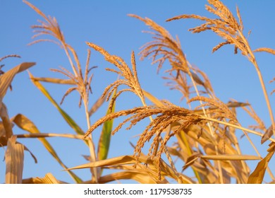 Golden field with blue sky in background. Ripe yellow ear of corn on the cob in cultivated agricultural field
