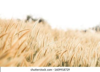 golden field with Flower meadow