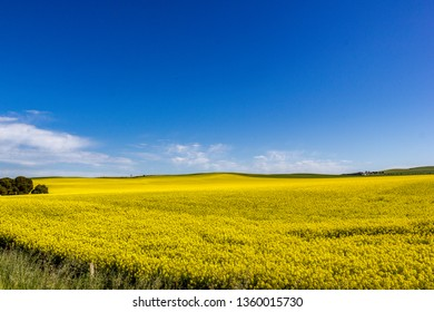 golden field of flowering rapeseed with blue sky - brassica napus - plant for green energy and oil industry, Mildura, South Australia