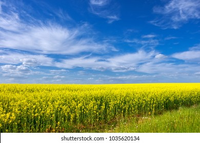 Golden field of flowering rapeseed (canola) with a beautiful cloudy and blue sky - plant for green energy and oil industry