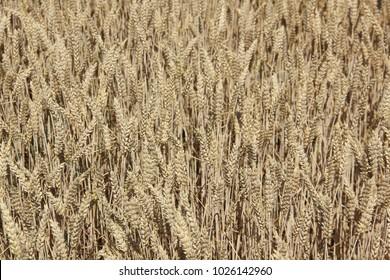 the golden field of grain
