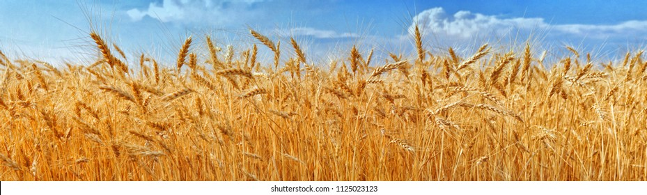 Golden field of ripe ears of wheat with blue sky and clouds. Nature composition. Beautiful summer landscape. Agriculture and rich harvest concept.