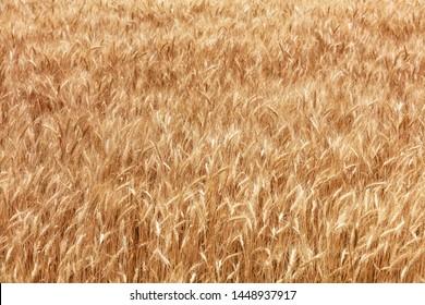 Golden field of ripe wheat ears growing in summer in windy weather.