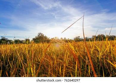 Golden field at Suan-Phor-Iam sunrise in the rice filed.