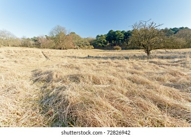 Golden field with trees under blue sky.