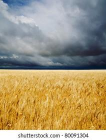 golden field under dramatic sky
