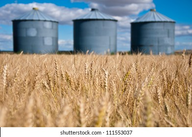 golden field of wheat in the foreground with old grain silos against a blue sky in the background