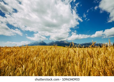 Golden field of wheat on the background of infinite cloudy blue sky and the mighty Tatras Mountains in Slovakia. Charming rustic landscape. Beauty of the virgin nature.
