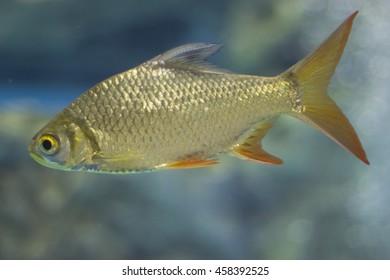 Golden fish, Freswater fish, In Thailand.