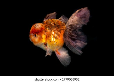 Golden fish on Black background