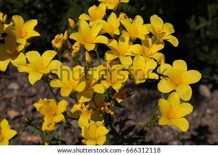 Golden flax flower or yellow flax stock photo edit now 666312118 golden flax flower or yellow flax gelber lein crimean flax mightylinksfo