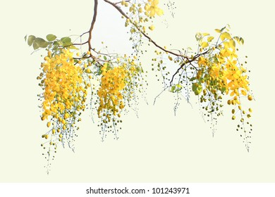 Golden Flower or Cassia Fistula, national flower of Thailand. isolated on white background