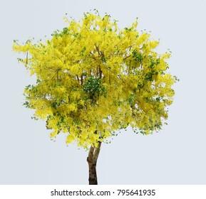 Golden flower, Indian laburnum, Pudding-pine tree, Purging Cassia