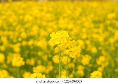 The golden flowers of the mustard crop
