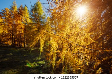 Golden forest in the glow of the sun. Splendid autumn landscape in Val Gardena. Location place Dolomiti Alps, Italy, Europe. Scenic image of autumn wallpaper. Discover the beauty of earth.