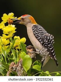 Golden Fronted Woodpecker displays nature's beauty