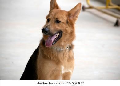 golden German shepherd