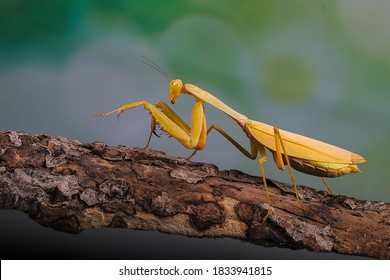Golden giant mantis on a wooden branch.