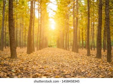 Golden ginkgo forest in autumn