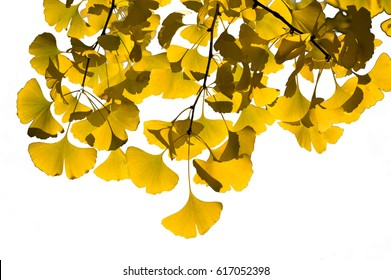 Golden ginkgo leaves isolated on white background