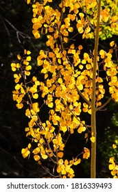 Golden, glowing aspen leaves against a dark background.