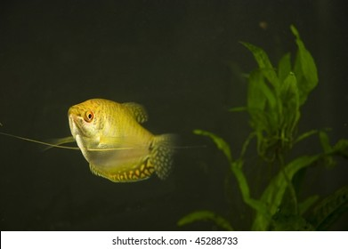 "Golden Gourami with ""whiskers"" extended in aquarium with background plant"