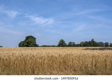 Golden grain field in summer